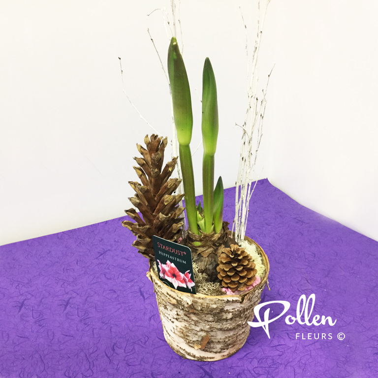 Emma amaryllis en pots le mans pollen fleurs for Amaryllis plantation en pot